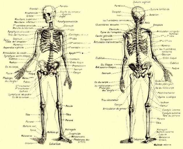 comment fonctionne un corps humain en bonne santé. Explications
