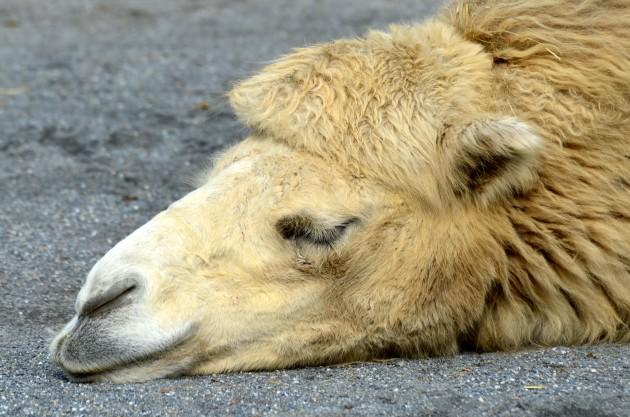 50_Jahre_Knie's_Kinderzoo_-_Camelus_bactrianus_(Trampeltier)_2012-10-03_15-21-11