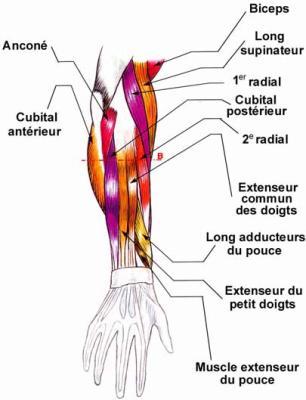 Les muscles en question