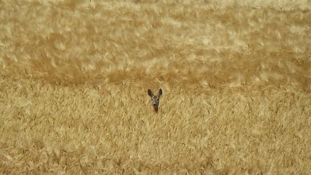 roe-deer-423597_640