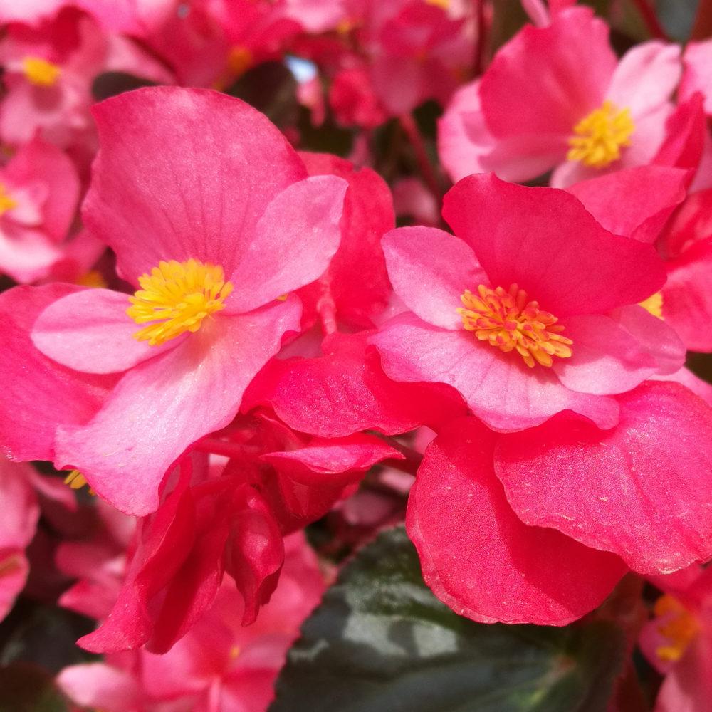 Fleurs Honor 8