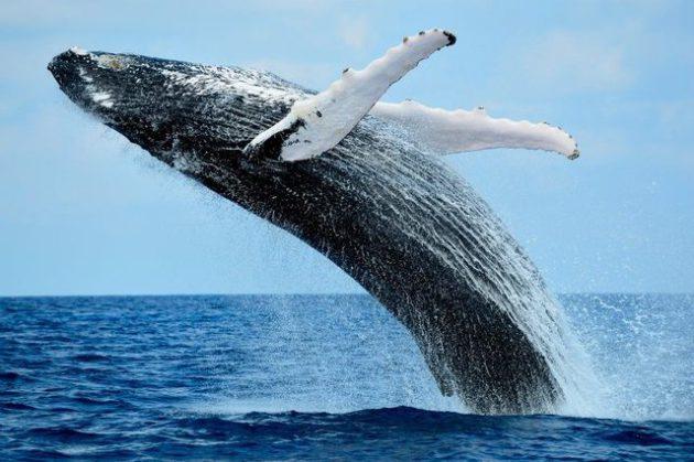 baleine-ile-de-la-reunion