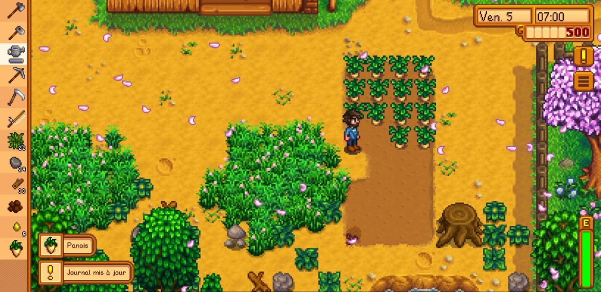 Mes panais sont prêts à être récoltés !