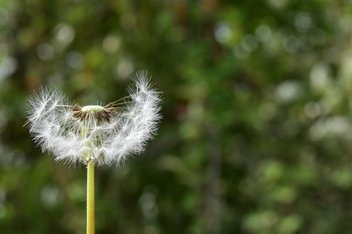 Pissenlit pollen