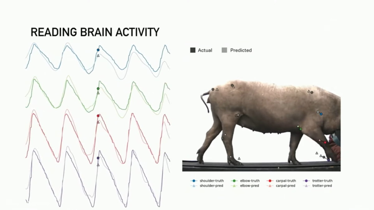 La lecture du cerveau de la truie permet de prédire ses mouvements