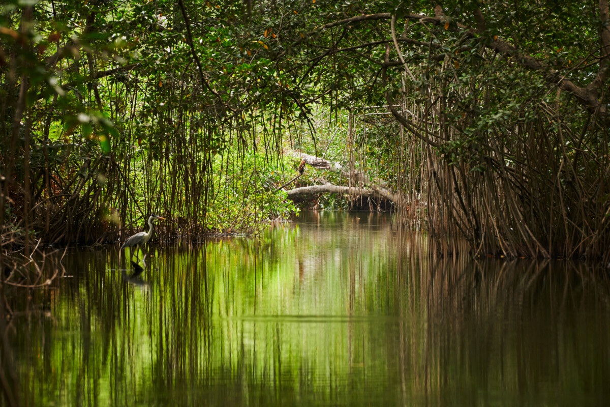 La mangrove en Colombie